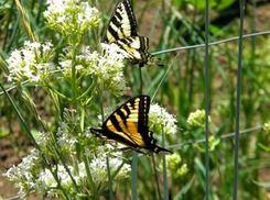 Swallowtails on White Jupiters Beard