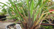 West Indian Lemongrass