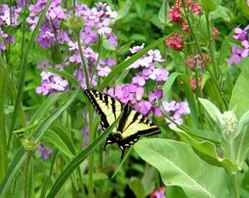 Swallowtails on Red Jupiters Beard and Hesperis