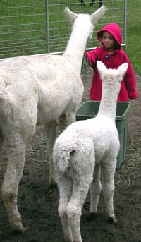 alpaca farm visit