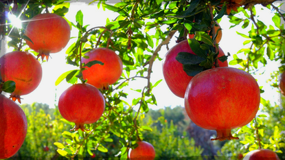 More Fruit Trees For Austin And Central Texas Area