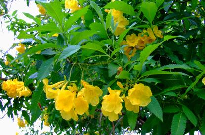 Yellow bells austin texas th mightylinksfo