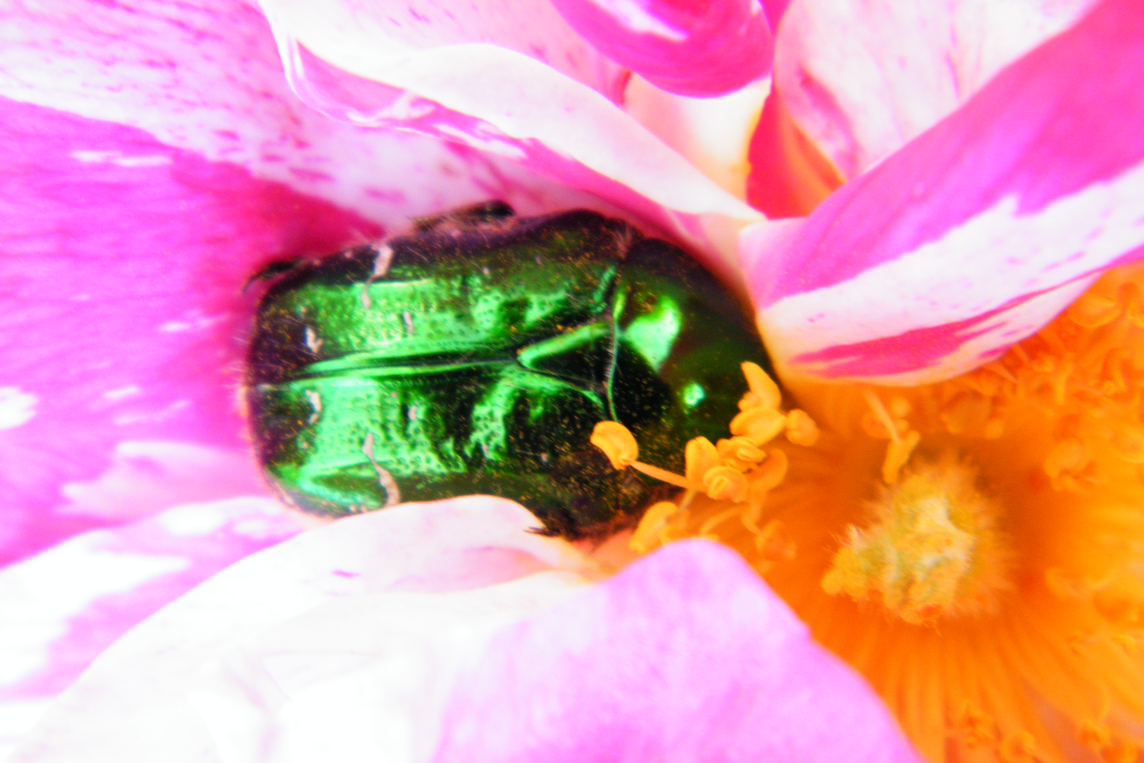rose chafer beetle rose petals