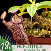 Nepenthes macfarlanei