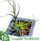 Coupelle Square Tillandsia
