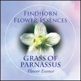 Beschrijving: Grass of Parnassus