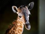 BB the baby giraffe at Cheyenne Mountain Zoon