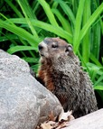 Punxsutawney Phil predicts and early spring