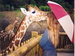 The Cheyenne Mountain Zoo boasts the largest giraffe herd in No America!