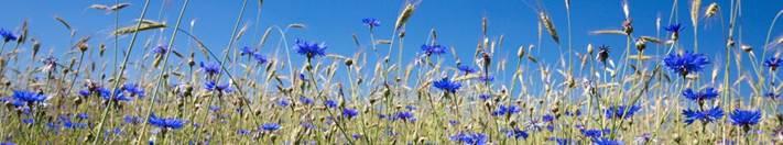 /bloemen/weidebloemen/31935-korenbloemen-in-weiland/ Bestelcode: TP31935 - Korenbloemen in weiland